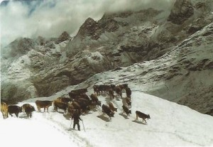 Andeer Kühe im Schnee