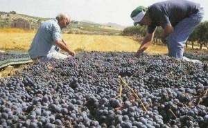Weintrauben  Nero d'Avola