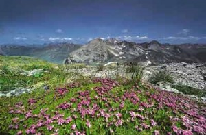 Alp-Flix-Blumen