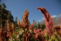 Amaranth Allos