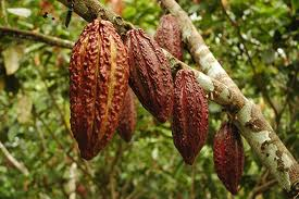 Cacaoschoten