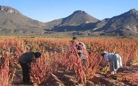 Quinoa Ernte